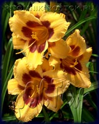 "hemerocallis   -  лилейник ""Black Eyed Susan"""