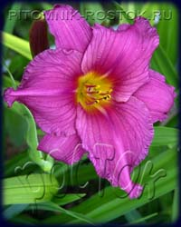 "hemerocallis  -  лилейник ""Chicago Royal Robe"""