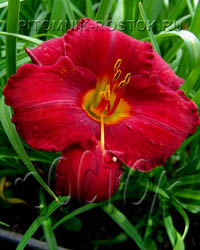 "hemerocallis  -  лилейник ""Chicago Apache"""