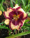 "hemerocallis  ""Awesome Blossom"""