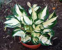 "Хоста """" - Hosta ""Fire and Ice"""