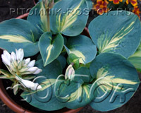 "Хоста ""Лэксайд Капкэйк"" - Hosta ""Lakeside Cupcake"""