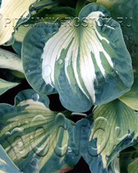 "Хоста ""Голден Медоуз"" - Hosta ""Golden Meadows"""