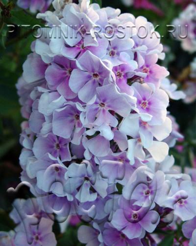 Lavendel Wolke