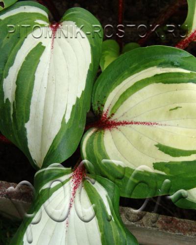 Raspberry Sundae (hosta)