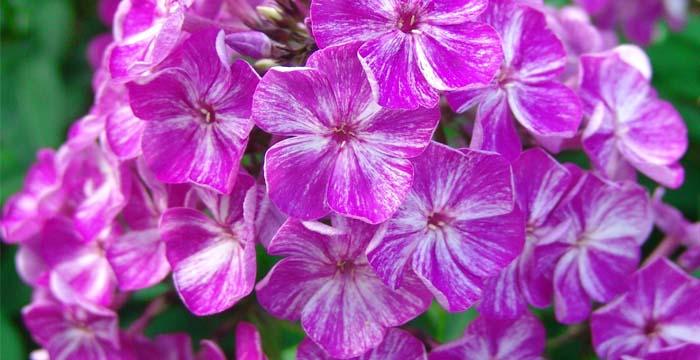 купить многолетние цветы для дачи интернет магазин
