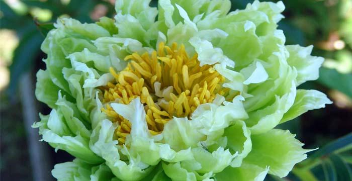 Купить кустовые цветы для дачи, доставка цветов усть лабинский район хутор железный