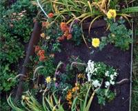 Посаженные осенью хризантемы хорошо политы и обрезаны
