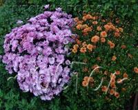 Посаженные осенью хризантемы перезимовали и зацвели