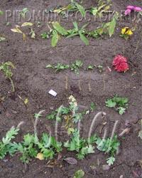Осенние черенки хризантем могут перезимовать