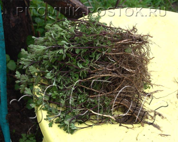 сооружение, прикорневые побеги у хризантемы фото мордовской зоне осужденные