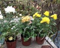 Корейские хризантемы в горшках покупать рискованно (эти не перезимовали)