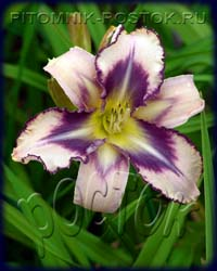 "hemerocallis Destined to See ""Destined to See"""