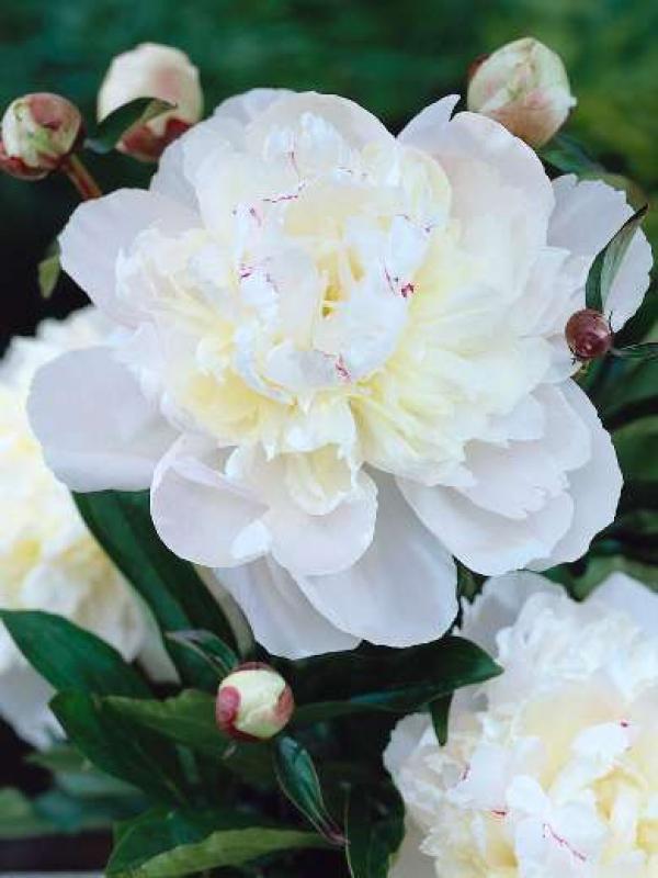 Пион молочноцветковый  Avalanche