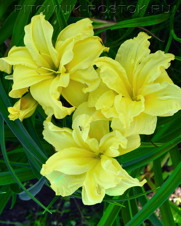 "Hemerocallis  ""Double River Wye"""