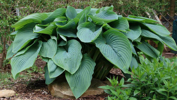 "Hosta ""Empress Wu"""