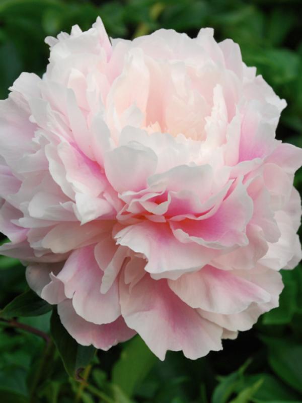 Пион молочноцветковый  Morning Kiss