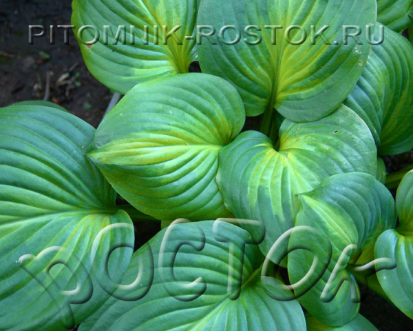"Hosta  ""Avocado"""