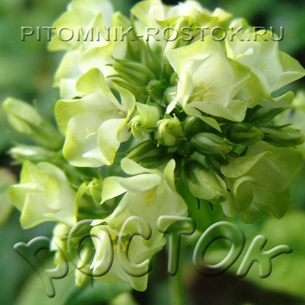 Phlox paniculata Babje Leto