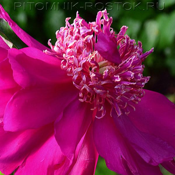 Paeonia lactiflora Barrington Belle