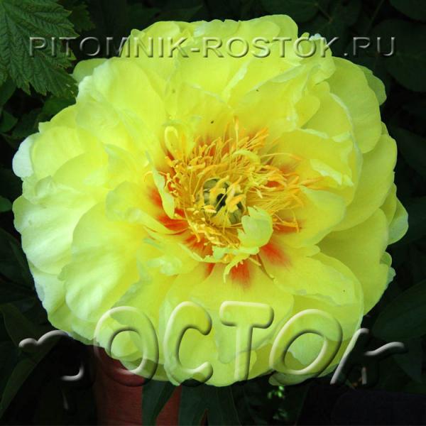 Paeonia Bartzella (Itoh)