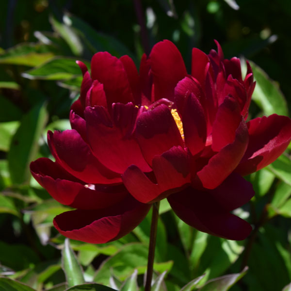 Paeonia lactiflora Buckeye Belle