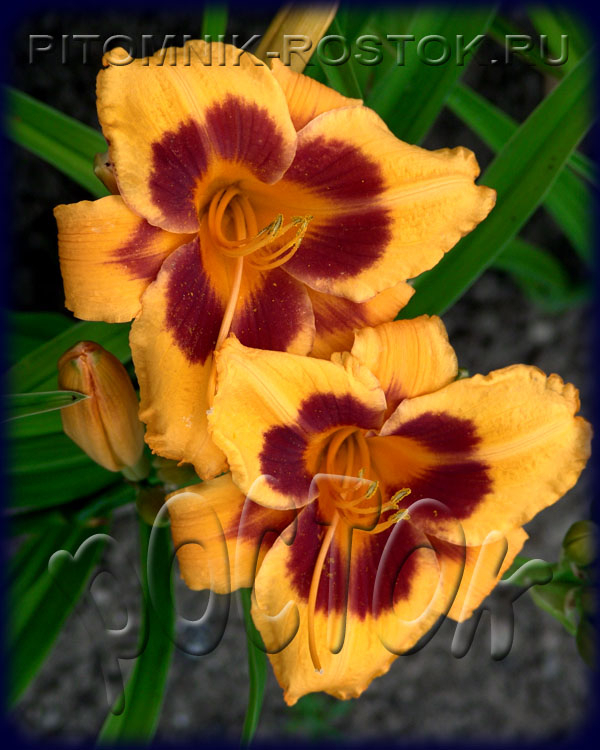 "Hemerocallis  ""Black Eyed Susan"""