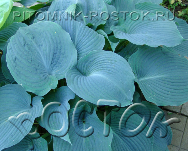 "Hosta  ""Blue Angel"""