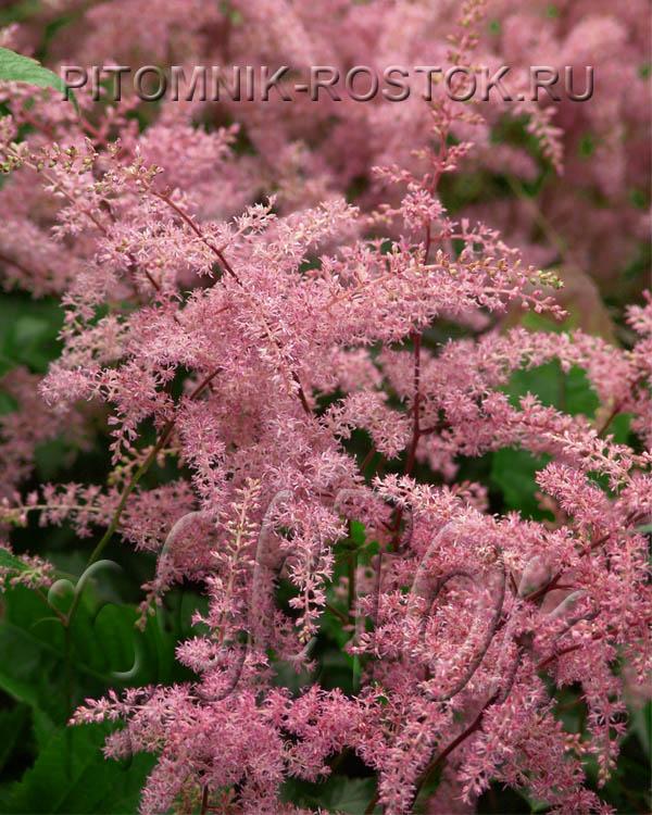 Astilbe simplicifolia  Bronce Elegans