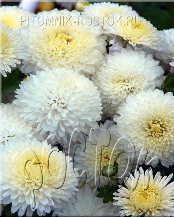 """Хризантема корейская садовая грунтовая """"УМКА"""""""