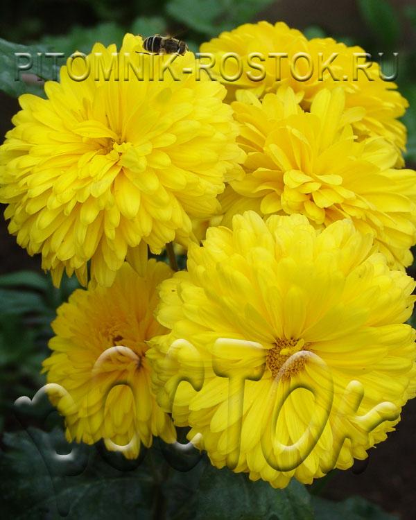 Корейская садовая хризантема КНОПКА
