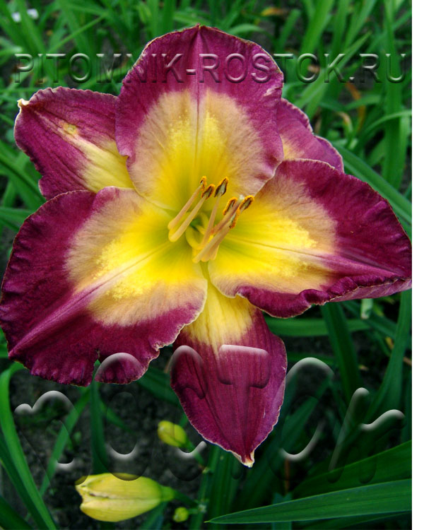 "Hemerocallis  "" Cheese & Wine"""