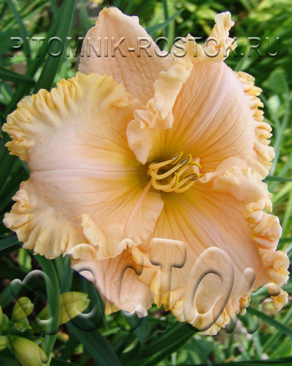 "Hemerocallis  ""Enchanted Forest"""