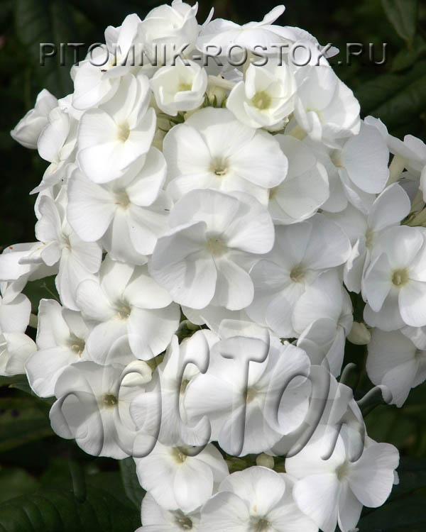 "phlox paniculata ""Younique® White"""