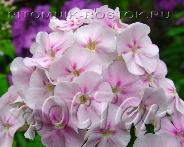 "phlox paniculata ""Younique® Bicolor"""