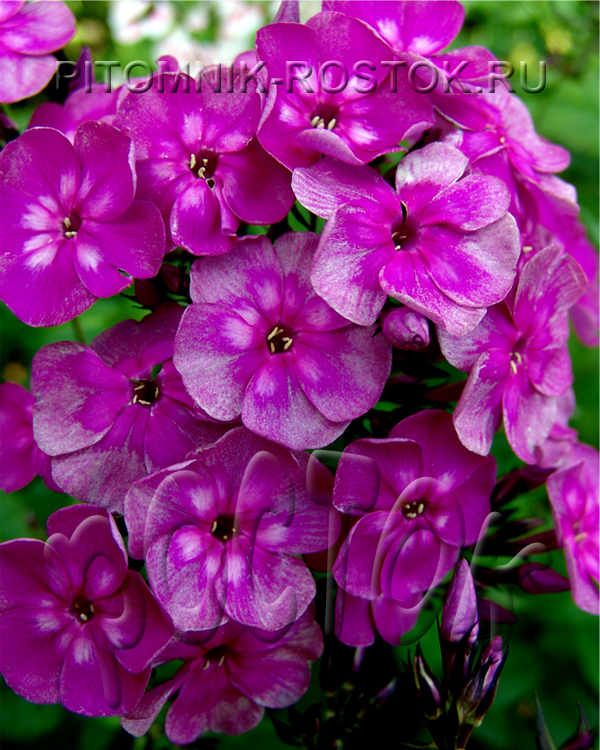 "phlox paniculata ""Magic Blue"""