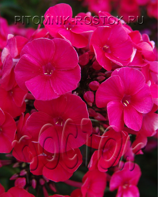 "phlox paniculata ""Strawberry Daiquiri"""