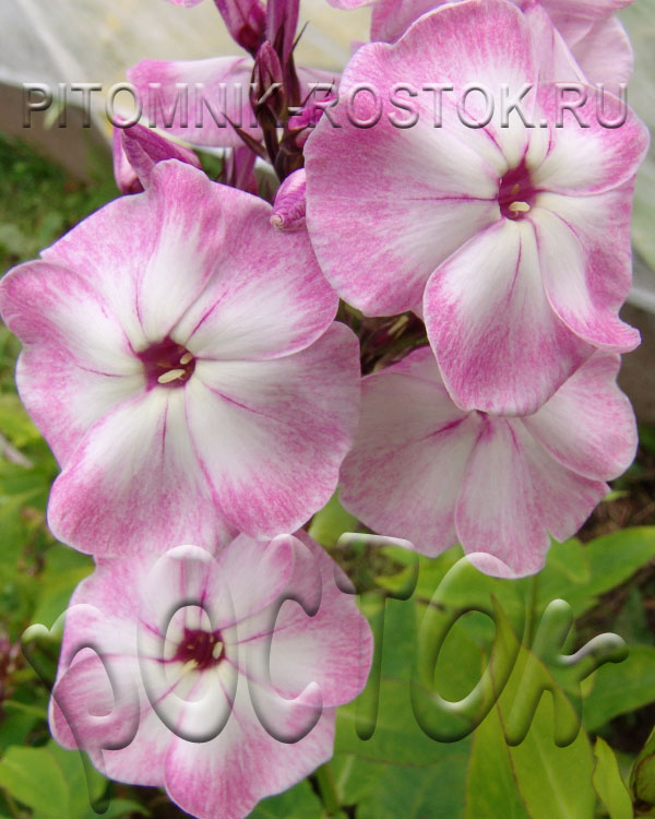 "phlox amplifolia ""Esther"""