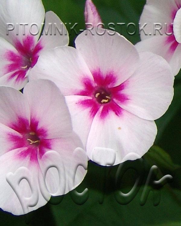 "phlox paniculata ""Swizzle"""