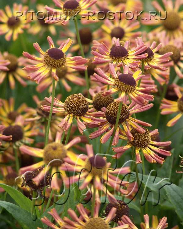 "Helenium autumnale ""Loysder Wieck"""