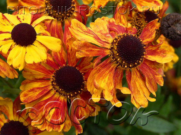 "Helenium autumnale ""Sahin's Early Flowerer"""