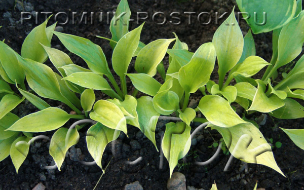 Hosta Game Boy