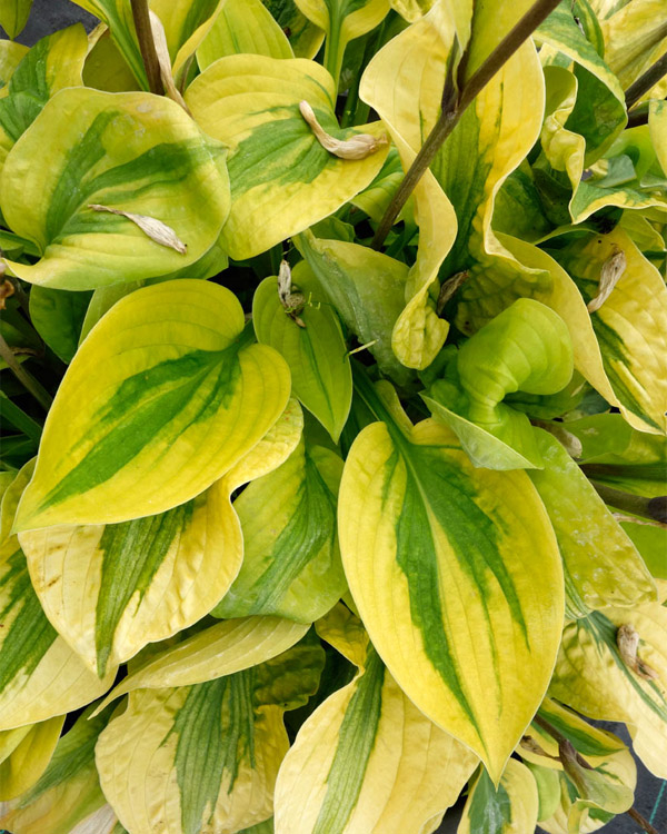 Hosta ' Glad Rags '