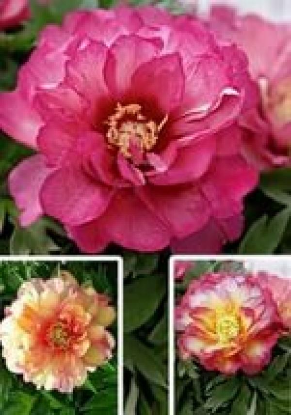 Paeonia Itoh Hybrids Julia Rose