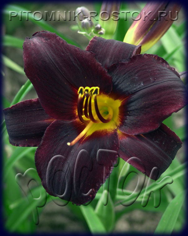 "Hemerocallis  ""Sweet Hot Chocolate"""
