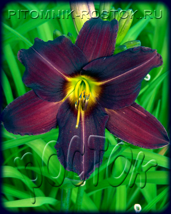 "Hemerocallis  ""Bamboo Blackie"""