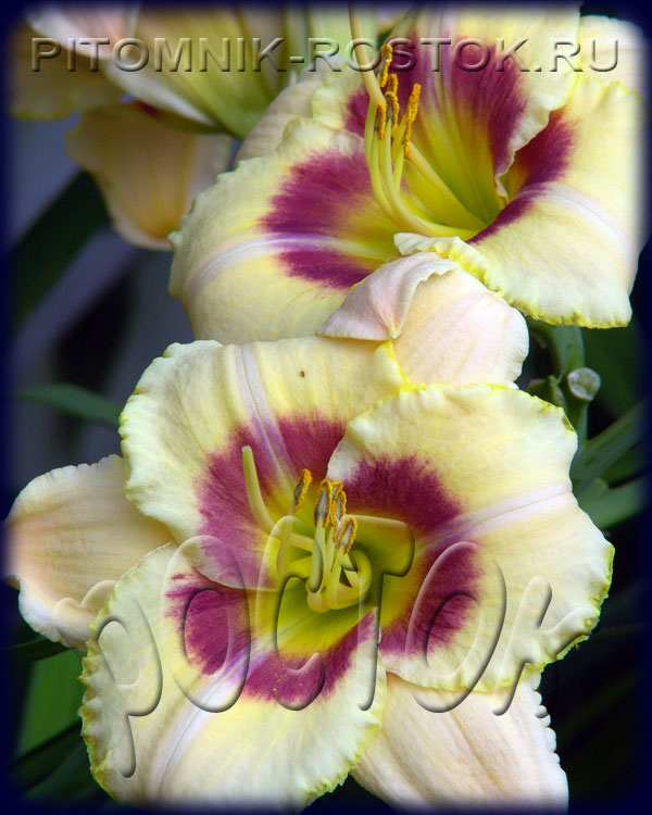"Hemerocallis  ""Custard Candy"""