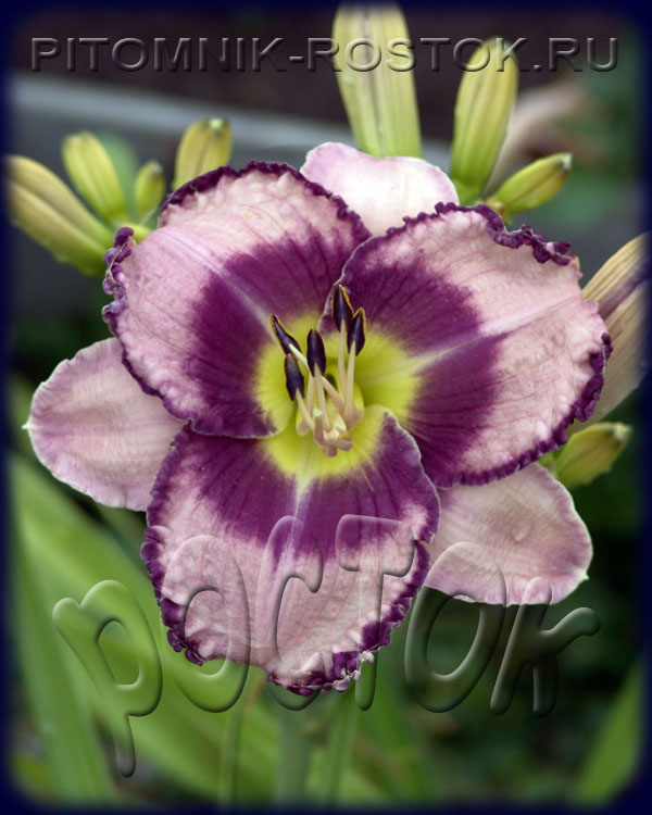 "Hemerocallis  ""Royal Braid"""