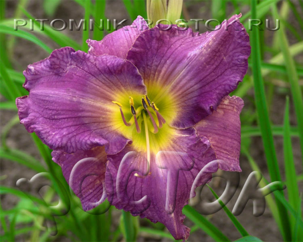 "Hemerocallis  ""Unchartered Waters"""