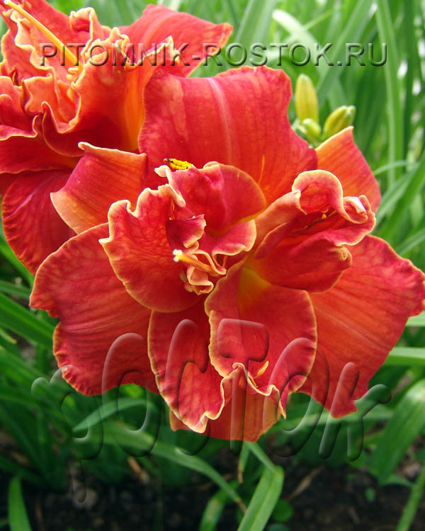 "Hemerocallis  ""Moses Fire"""